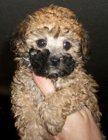 AKC Tiny Toy Poodle
