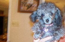 AKC Toy Tiny Toy Teacup and Pocket size poodle puppies