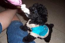 AKC Teacup poodle Puppy