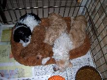 AKC Toy and Tiny Toy Poodle Puppies
