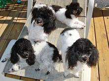 AKC Toy, Tiny Toy, and Teacup Poodles