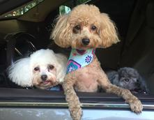 AKC Toy, Tiny Toy and Teacup size poodles