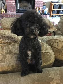 Akc Toy Poodles Tiny Toy Poodles Teacup Poodles Puppies