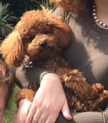 AKC Tiny Toy Poodle Puppy