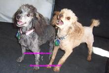 AKC Tiny Toy & Toy Poodle