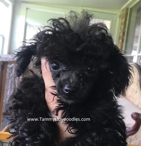 AKC Toy, Tiny Toy, Teacup, Pocket size poodle puppies