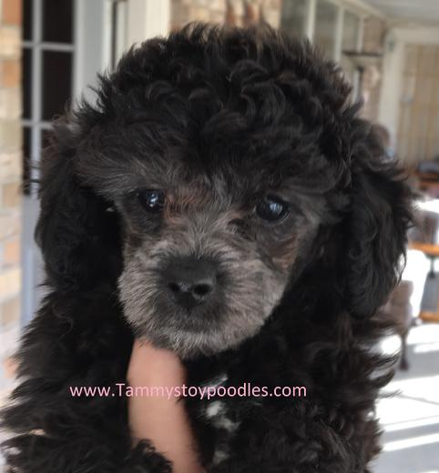 Toy, Tiny Toy, Teacup and Pocket size AKC Poodle Puppies.
