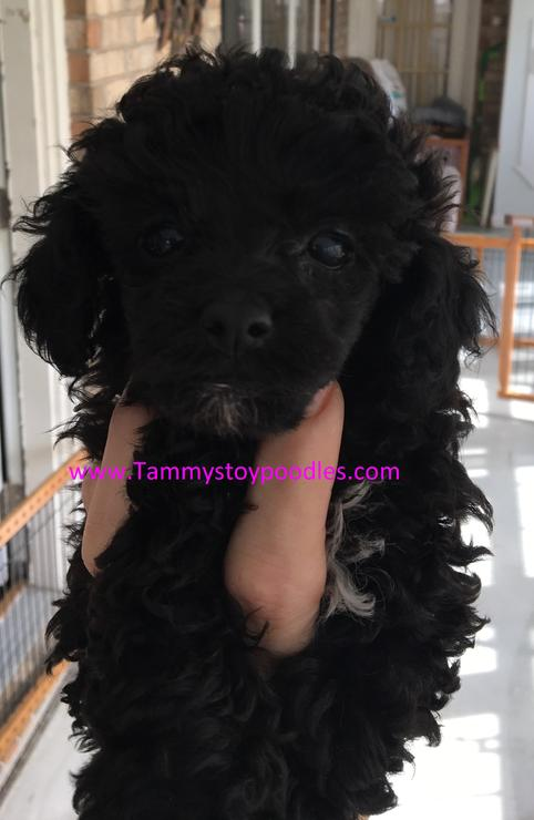 Toy, Tiny Toy, Teacup and Pocket size AKC Poodle Puppies