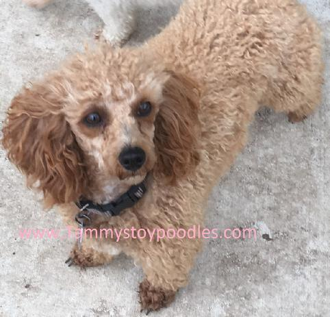 AKC Toy Poodle Puppy