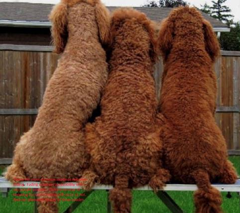 Red Poodles